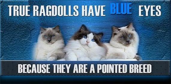 RagnificentDolls Ragdoll Kittens Ragdolls in Gilmer Texas